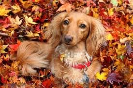 fall doxie